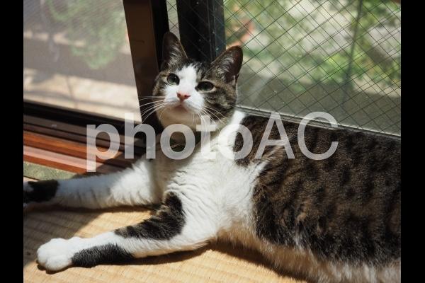 窓際の猫01の写真