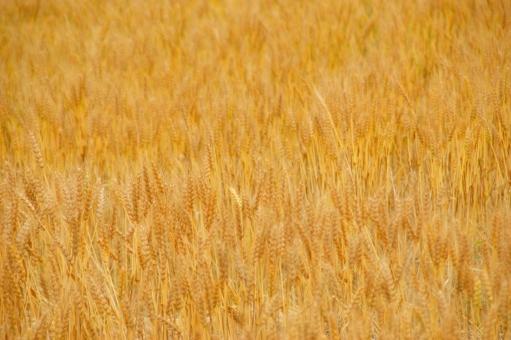 麦 ムギ むぎ むぎ畑 麦畑 初夏 麦秋至 むぎのときいたる 麦秋 節気 季節 節季 二十四節気