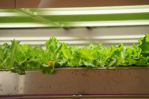 水耕栽培 水栽培 養液栽培 農業 葉 葉っぱ 緑 みどり 植物 成長 育つ 観察 成長 伸びる 水 食材 野菜 やさい 食べ物 レタス サニーレタス 菜園 電気 光 温室