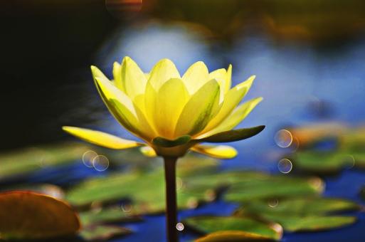 蓮 ハス はす 蓮の花 はすのはな ハスの花 ロータス 蓮池 白色の花 白い花 蓮の葉 葉っぱ 葉 浮かぶ 池 善 寺 仏 仏教 蕾 つぼみ 咲く 開く 開花 美しい 綺麗 自然 植物 花