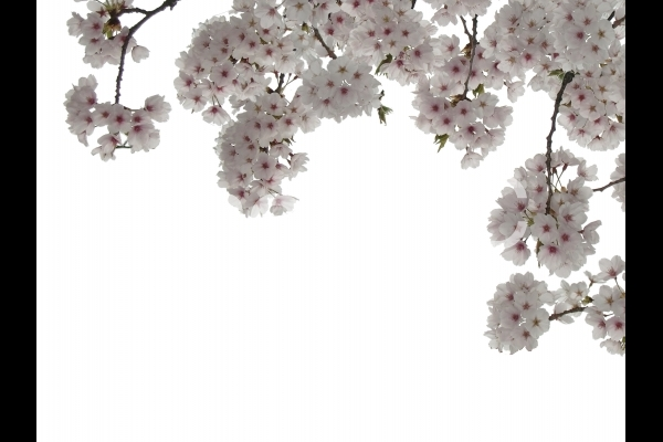 満開の桜 2の写真