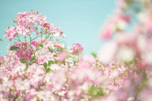 植物 葉っぱ 葉 リーフ  花 花びら 花弁 被子植物 フラワー  自然 ナチュラル ネイチャー ぼけ ぼかし ぼやける ピント 青空 お空 空 蒼穹 蒼空 晴天 ブルースカイ 青い ブルー ピンク ピンクの花 空色 爽やか
