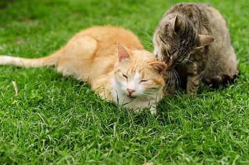 動物 猫 ネコ ねこ ペット 家猫 ペットショップ アップ 生き物 生物  飼育 ほ乳類 顔 髭 手 2匹  屋外 かわいい 飼い猫 芝生 しば 毛繕い 仲良し