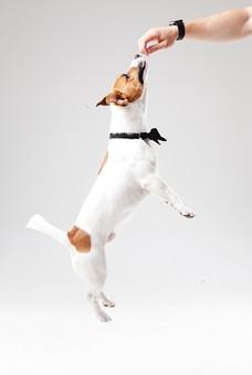 ポーズ 動物 生物 生き物 哺乳類 ほ乳類 犬 いぬ イヌ ドッグ ジャックラッセルテリア 小型犬 仔犬 子犬 蝶ネクタイ ジャンプ 飛ぶ 手 おやつ 芸 特技 全身 かわいい 可愛い 白背景 白バック グレーバック 十二支 干支 戌