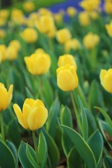 チューリップ 黄色 可愛い ランドセル 入学 入学式 入園 カラフル 楽しい ワクワク 元気 可憐 春 4月 お花畑 花壇 園芸 花 明るい 前向き