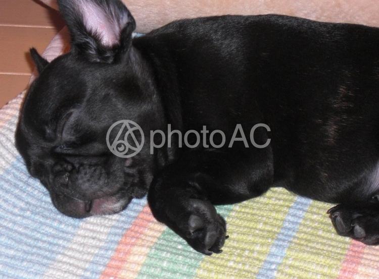 可愛い子犬 フレンチブルドッグが寝ている フレブルの顔の写真