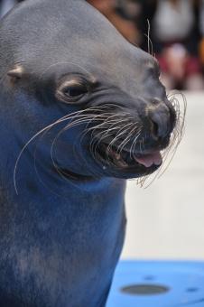 水族館 顔 アシカ 笑う たくらむ