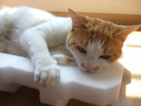 猫 ネコ 顔 表情 かぶりつく ストレス発散 猫の手 齧る かじる 不満 怒り 怒る 日差し 家猫 飼い猫 室内猫 噛みつく イライラ ペット 茶白 動物 にゃらん かわいい 可愛い