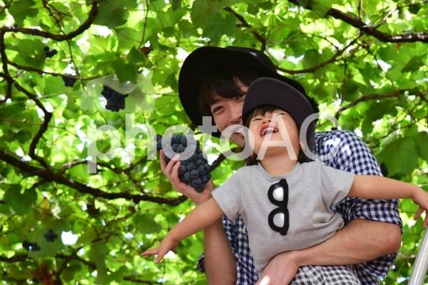 葡萄狩りの写真