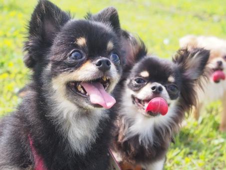 犬 チワワ 黒 舌 笑顔
