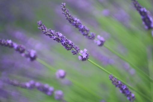 ラベンダー ラベンダー畑 lavender 薄紫 紫 パープル 香 爽やか テクスチャ 背景 背景素材 マクロ 花 植物 ナチュラル 自然 ハーブ 薬用 野草 ガーデニング ドライフラワー 園芸 花壇 香り アロマ アロマオイル 精油 アロマテラピー リラックス リラクゼーション 殺菌 アップ クローズアップ 接写 コピー フレーム コピースペース スペース テキストスペース