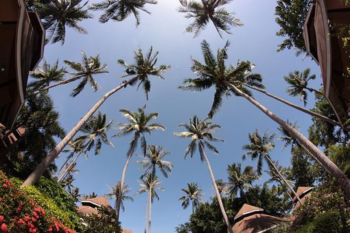外国 外国風景 海外 海外風景 景色 風景 自然 屋外 外 旅行 観光 旅 休日 癒し アジア タイ スラートターニー タオ島 リゾート 植物 椰子の木 ホテル ロッジ コテージ 宿泊 ヤシ