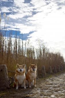 柴犬・ススキの写真