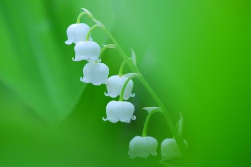 緑の中のスズランの写真