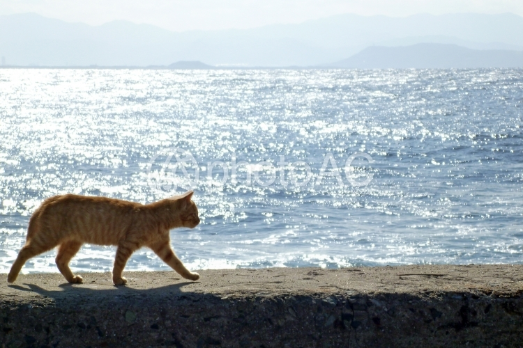 海辺の堤防を歩く猫2の写真