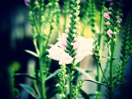 花 植物 ピンク 植物園 花壇 レトロ トイフォト