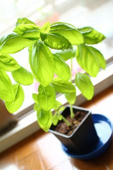 ハーブ 香草 バジル プランター 葉 葉っぱ 緑 みどり 植物 成長 茎 葉脈 育つ 観察 草花 園芸 ガーデニング 趣味 緑 癒し 成長 伸びる  室内 部屋 鉢植え
