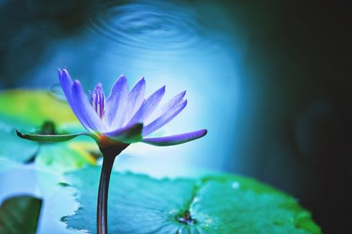 植物 葉っぱ 葉 リーフ  花 花びら 花弁 被子植物 フラワー  自然 ナチュラル ネイチャー  幻想 幻想的 不思議 ファンタスティック ファンタスチック ドリーミー 夢幻 夢幻的 空想 空想的 ファンタジック 紫色 紫の花 パープル 水 波紋 水面