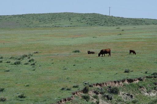 草地 草原 原っぱ  草 緑 グリーン 緑色 フィールド 青空 空 お空 大空 晴天 晴れ 快晴 青色 青い 青天井 蒼穹 蒼天  爽やか 爽快 さっぱりした 健康的 のどか 長閑 牛 ウシ 家畜 畜類 動物 生物 哺乳類 脊椎動物 茶毛