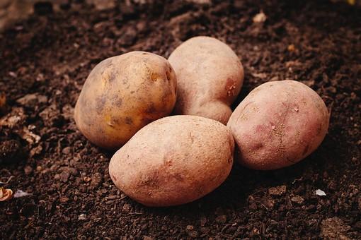 根菜 ジャガイモ じゃがいも  芋 いも ポテト 白 茶 サラダ 根 フライ 健康 ヘルシー 食べ物 食材 新鮮 採れたて 物撮り 野菜 ベジタブル 料理 自然 農業 農作物 農家 畑 土 水 オーガニック 4個 アップ 収穫