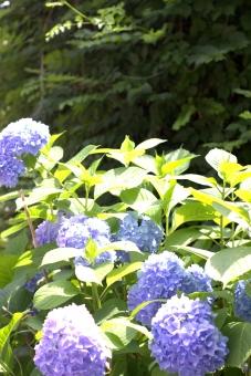 hydrangea あじさい 紫陽花 群青 紫 青 葉 緑 六月 梅雨 晴れ 快晴 路上 植物 花 風景 つる 蔓