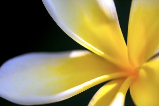 自然 植物 花 プルメリア 夏の花 夏 初夏 常夏 ハワイ ハワイアン レイ トロピカル バケーション 旅行 背景 テクスチャー 休日 休暇 黄色い花 森 林 公園 ガーデン 植物園 光透過光 コピースペース 野外アウトドア ポストカード 待ち受け画像 光溢れる 花言葉・内気な乙女 花言葉・気品 みずみずしい 爽やかイメージ フラダンス 太平洋 海イメージ