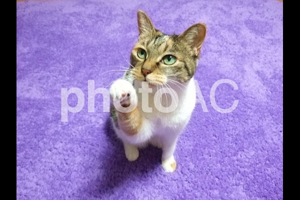 三毛猫4の写真