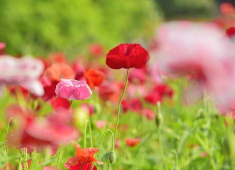 シャーレーポピー ポピー 花 花畑 植物 背景素材 テクスチャー テクスチャ グリーン 風景 カラフル 明るい 背景 ピンク 赤 緑 白 春 初夏