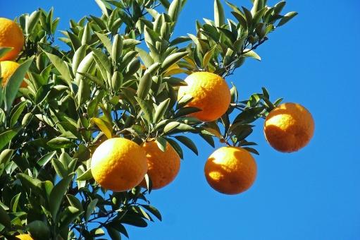 みかん ミカン 蜜柑 果物 果実 fruit 柑橘類 青空 晴天 快晴 木 樹木 自然 緑 ネイチャー 食べ物 食品 食材 食料 食糧 食料品 生鮮食料品 生鮮食品 青果 植物 季節感 seasonimage