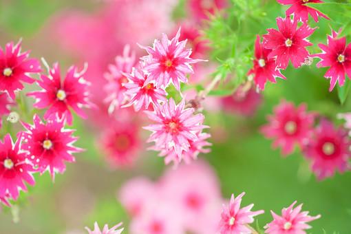 自然 植物 小花 花 花びら ピンク色 桃色 めしべ おしべ 花粉 可愛い 綺麗 鮮やか 美しい 集まる 密集 沢山 多い 成長 育つ 満開 開く 開花 咲く ぼやける ピンボケ 群生 アップ 無人 加工 室外 屋外 風景 景色 葉 葉っぱ 緑 幻想的 撫子 ナデシコ