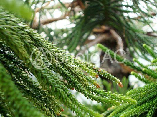 スギの鱗片葉1の写真
