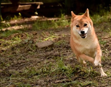 柴犬・走るの写真