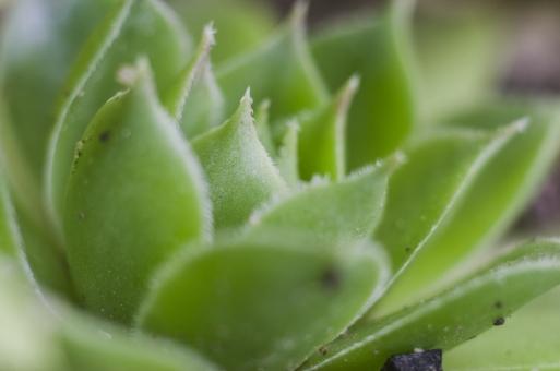 静物 背景 余白 影 スナップ 模写 置く 物 物体 デッサン 練習 習作 自然 植物 緑 ヤネバンダイソウ 多肉植物 砂漠 強い きれい 肉厚 茎 葉 貯める 乾燥