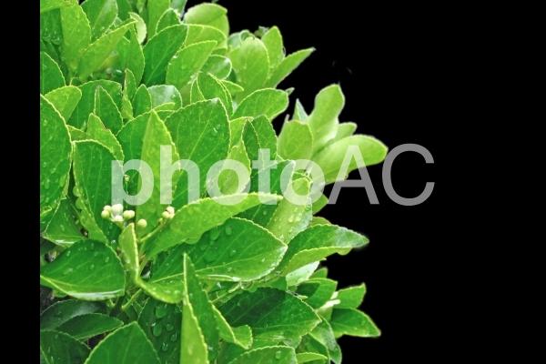 葉 緑葉の写真