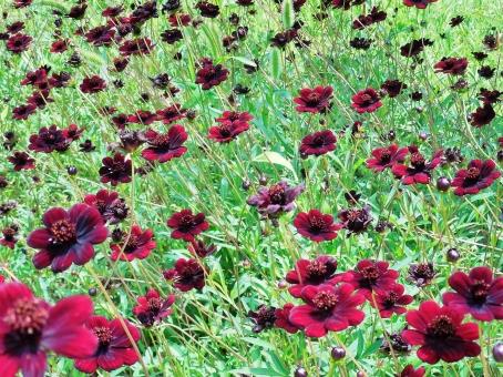 コスモス コスモス畑 秋桜 チョコレートコスモス 花 花びら 秋 初秋 黒い 黒っぽい 茶色 brown ブラウン 緑 緑色 グリーン green 葉 葉っぱ 綺麗 きれい キレイ 美しい 自然 風景 景色 壁紙 背景 テクスチャ 素材 公園 大人色 大人っぽい 深い色 濃い色 赤茶 赤茶色 群生 密集 たくさん いっぱい