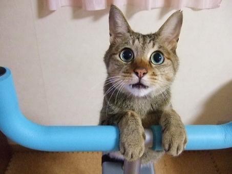 猫 ねこ ネコ 猫の手 両手をそろえた カメラ目線 大きな目 見つめる 見開いた ヒゲ かわいい 可愛い 家猫 室内猫 飼い猫 エクササイズ 視線 顔 表情 甘える 見上げる 動物 1匹 ペット 手 両手 手をかける ちゃこ 耳 うるうる