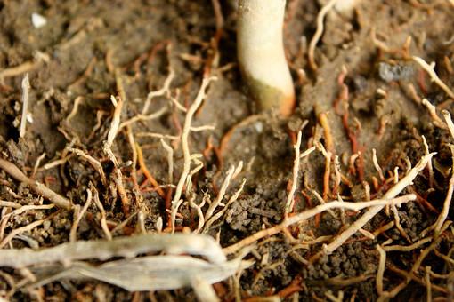 植物 自然 根 根っこ 野生 自生 アップ クローズアップ 新芽 伸びる 土 根もと 地下茎 根茎 株 根株 ひげ根 生える 大地 土壌 ねっこ 細い 細かい 長い 多い
