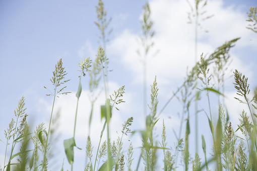 花 植物 葉 葉っぱ イヌビエ イネ科 草 緑 青 空 雲 自然 ナチュラル エコ ロハス グリーン 安らぎ 癒し 生命 環境 若葉 畑 水田 道端 空き地 背景 景色