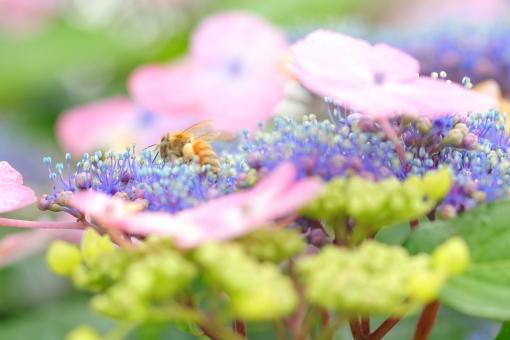 アジサイ 紫陽花 あじさい 花 植物 マクロ 拡大 横位置 余白 ピンク 紫 6月 雨 梅雨 色合い 湿度 天気 パステル 接写 蜂 ハチ 昆虫