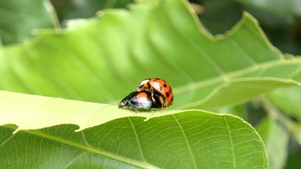 テントウムシ,てんとう虫,てんとうむし,天道虫,益虫,昆虫,可愛い,カラフル,二匹,交尾,メス,雌,オス,雄,雌雄 夫婦 セックス エッチ H 葉 葉っぱ 営み いとなみ 生きる 本能 自然界 次世代 子孫を残す 愛 ななほし 七星 ナナホシ 合体 ベッド 水玉模様 産卵 繁殖 受精 環境問題 生き物