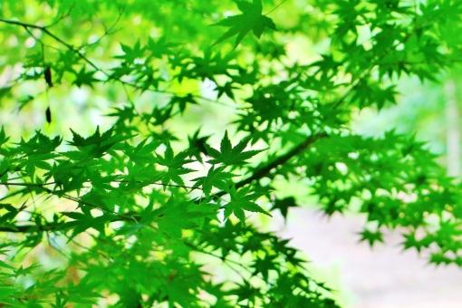 もみじ モミジ 椛 模様 植物 公園 初夏 キレイ 綺麗 きれい グリーン 爽やか 涼しさ 涼 緑 緑色 自然 風景 景色 背景 壁紙 テクスチャ 素材 重なり 葉 葉っぱ もみじの葉 モミジの葉 たくさん 密集 春色 夏色 彩り 和 和風 一羽