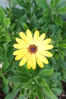 オステオスペルマム黄色の写真