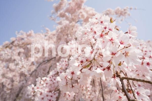 しだれ桜のアップの写真