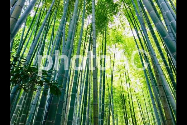 竹寺、鎌倉市の報国寺の写真