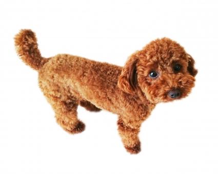 トイプードル全身 トイプー トイプードル 白背景 切り抜き コラージュ 犬 ペット 子犬 仔犬 小型犬 雑貨 白バック 素材 ペット 愛犬