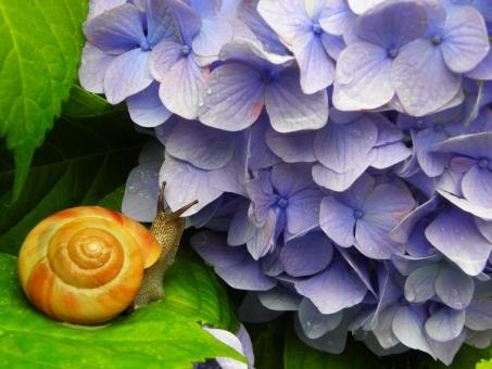 紫陽花 あじさい アジサイ hydrangea 梅雨 6月 六月 7月 七月 初夏 見頃 自然 nature かたつむり カタツムリ 蝸牛 でんでんむし 花 flower フラワー 植物 生き物 生物 雨上がり 観察 自然観察 ネイチャー 生きもの 大輪 咲く 満開 開花 鮮やか 華麗 綺麗 華やか 大輪の花