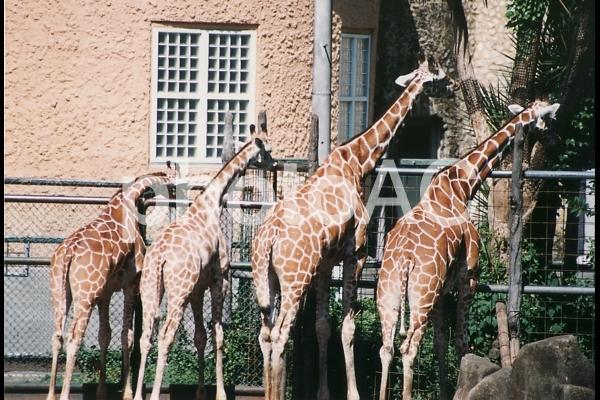 アミメキリン [Reticulatad giraffe]-001の写真