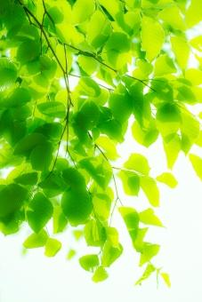 ブナ ぶな 山毛欅 山毛欅林 ブナ林 ぶな林 葉っぱ 木の葉 木葉 はっぱ 木の枝 小枝 自然 風景 木 樹木 森 植物 緑 グリーン エコ エコロジー 環境 ECO eco ECO 森林 森林浴 森林セラピー 癒し いやし リラックス リラクゼーション やすらぎ 安らぎ マイナスイオン 健康 美容 背景 背景素材 テクスチャ テクスチャー バックグラウンド 5月 夏 緑 春 初夏 癒し きらめき キラメキ 優しさ やさしい 優しい 揺らぎ 風 空気 バックイメージ グラデーション 玉ぼけ 光 輝き キイ
