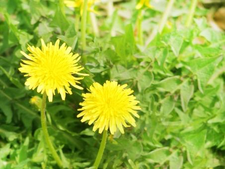 たんぽぽ タンポポ 黄色い花 花 緑 グリーン 雑草 ツイン 2輪 植物 春の花 3月 4月 背景 自然 風景