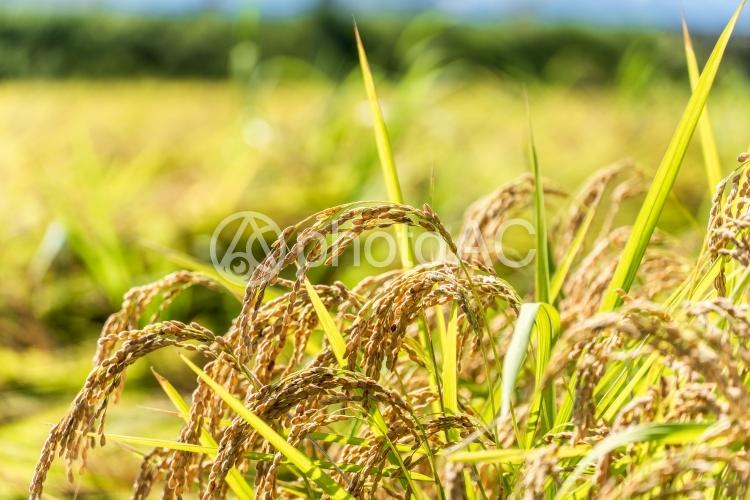 稲刈りの写真